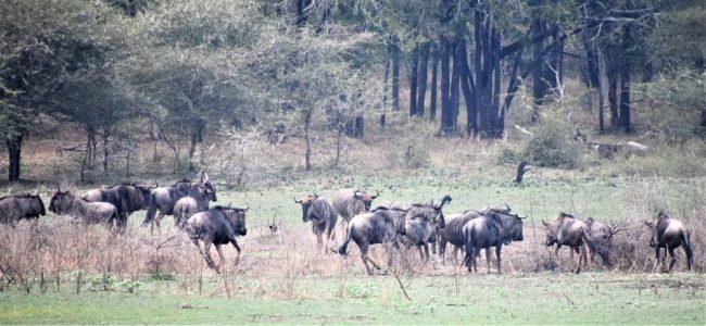A herd of wildebeest at Mkhaya