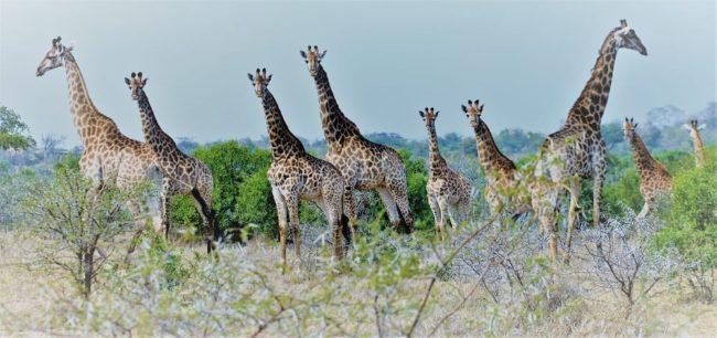 Giraffes in thorny scrub at Mkhaya