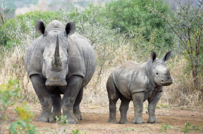 A mother and baby rhino at Hlane, eSwatini
