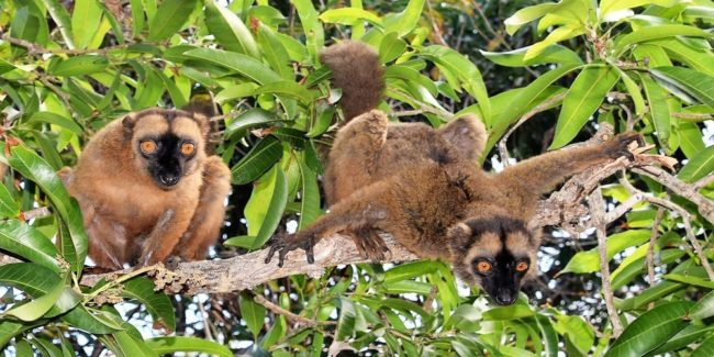 Two brown lemurs on a branch leaning forward to look for bananas