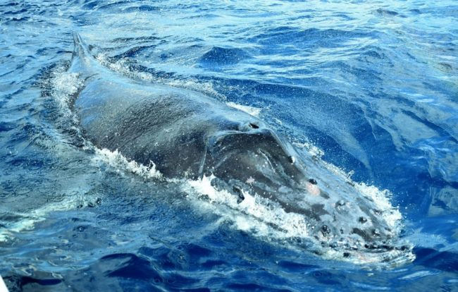 The length of a hump back whale alongside the boat at Mayotte