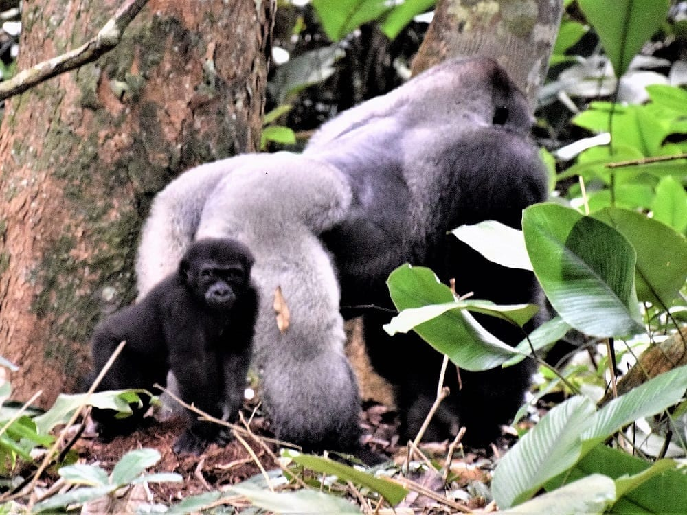 The silverback gorilla from the back with a baby gorilla behind him, Odzala, Congo