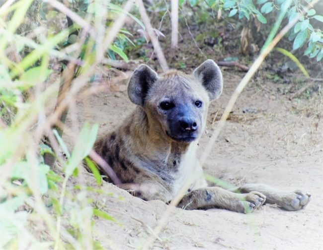 A hyena peeps out of its den in the ground, Congo