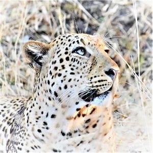 A headshot of a leopard South Lunagwa, Zambia