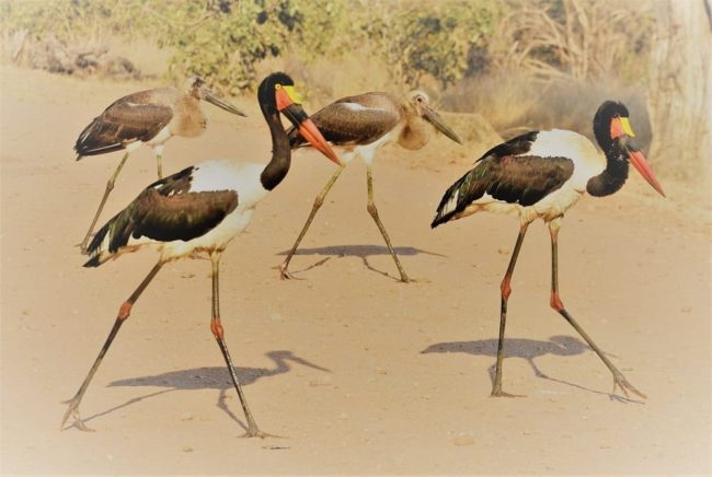 A group of saddle billed storks on the road