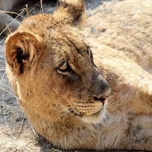 A headshot of a lion cub lying on the ground, looking up South Lunagwa, Zambia