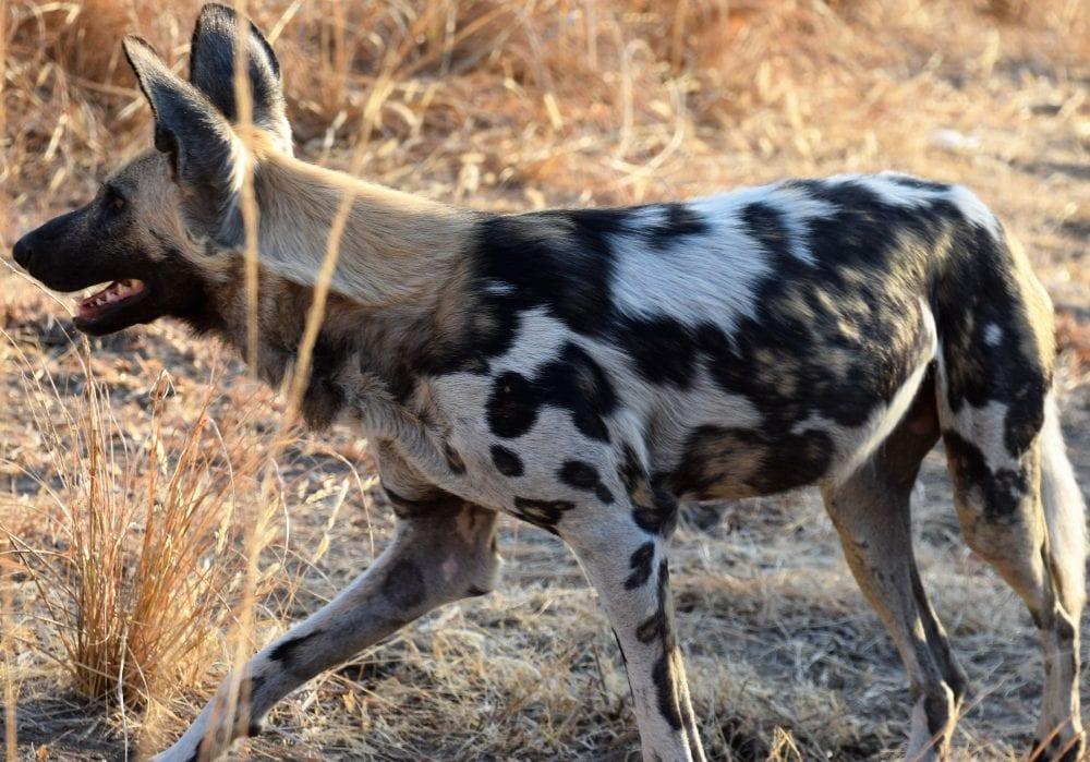 Variegated pattern on a painted dog, South Luangwa, Zambia