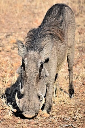 A warthog taken from the front