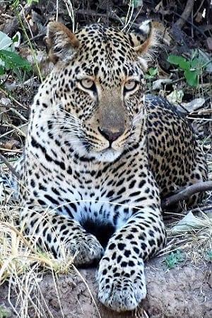 A leopard lying on the ground, head up South Lunagwa, Zambia