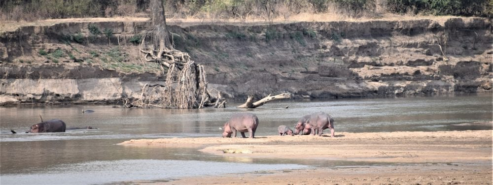 Hippos on the River Luangwa, seen from my camp