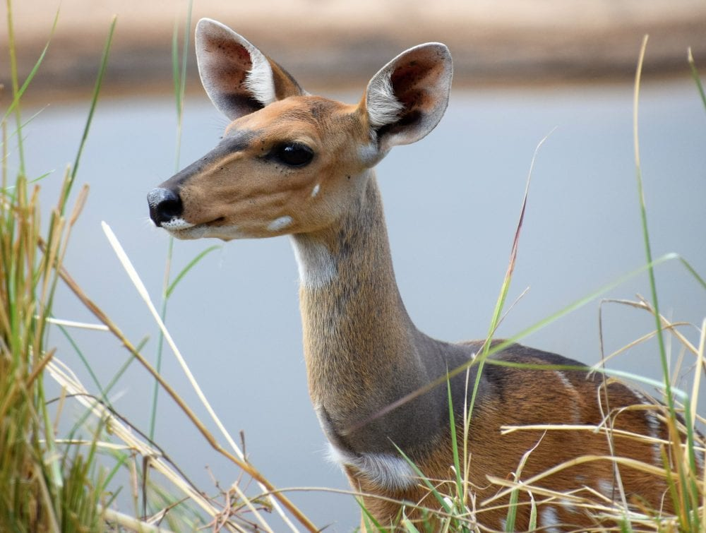 The heed of a young kudu