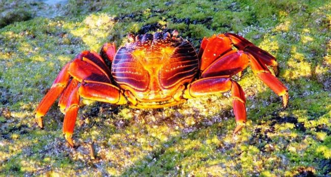 A scuttling red crab, Galapagos