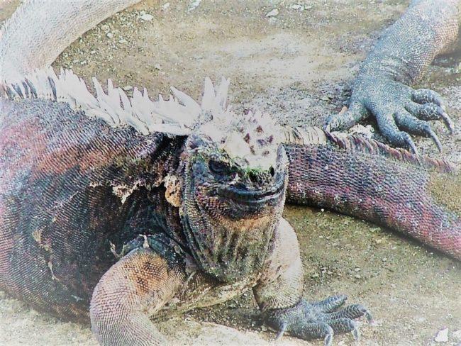 Marine iguanas resting on the beach