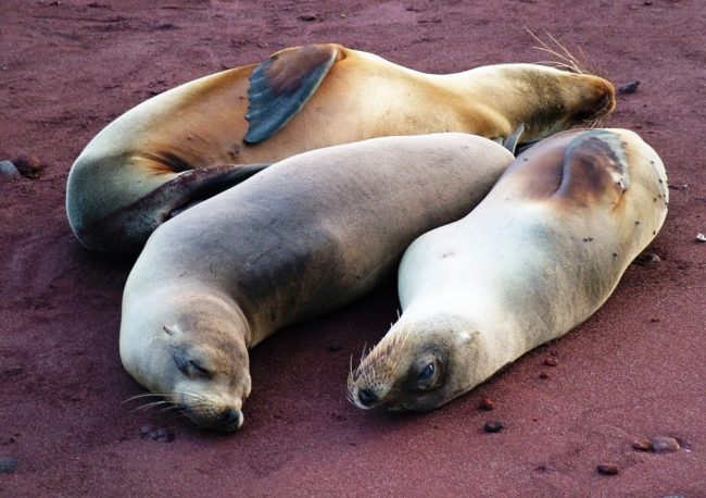 Three sea lions basking on a red beach, Galapagos