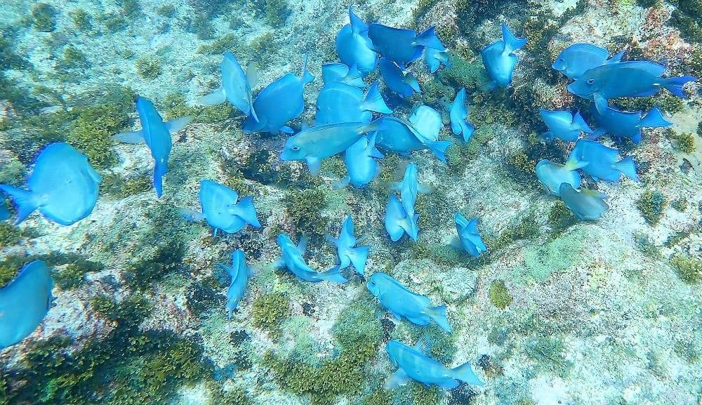 A shoal of blue coral reef fish, Lagun, Curacao