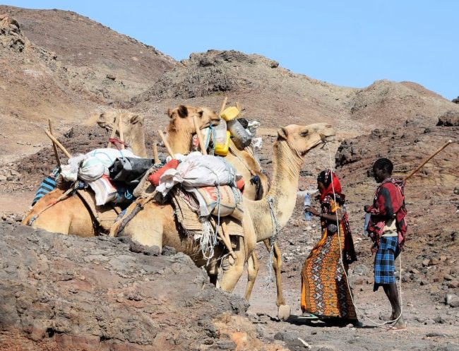 A small camel train - three camels and two drivers with canes in the desert in Djibouti