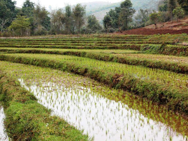 Terraced paddy field in Laos