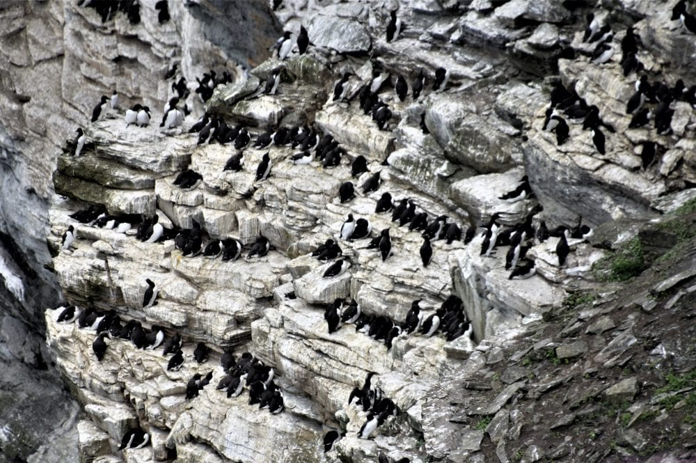 Rows of guillemots on the cliffs at Marwick Head, Orkney