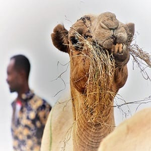A close up of a camel chewing hay