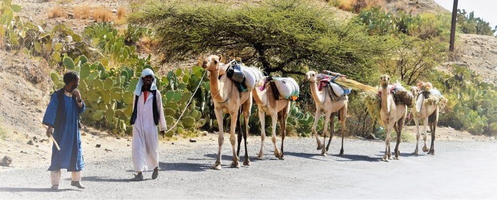 A camel rain on the road in Eritrea
