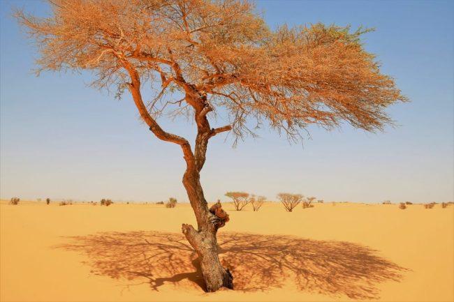Orange leaved tree in the desert casts an orange shadow, Sudan