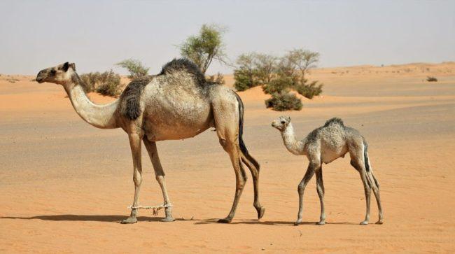 Bayuda Desert, Camel with baby following