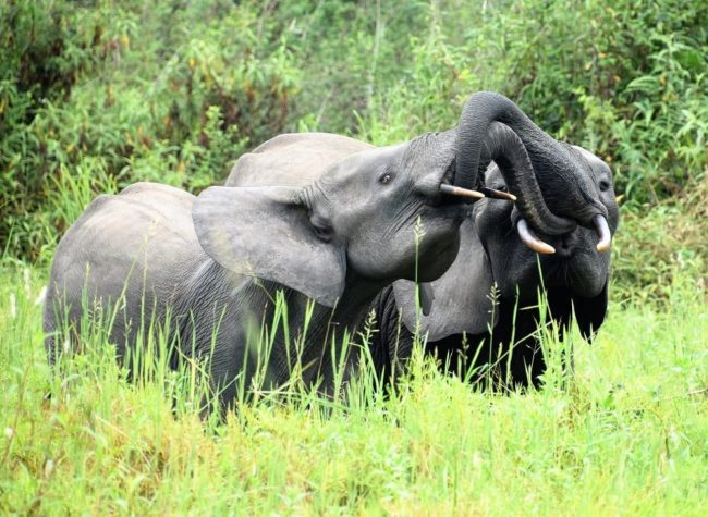 Two elephants with their trunks intertwined