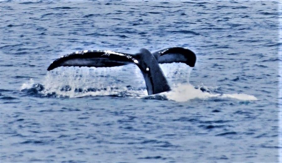 The fluke of a humpback whale