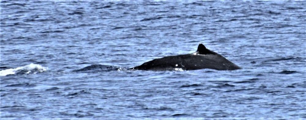 A hump back whale dives