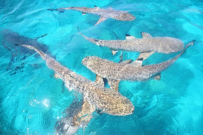Black tipped reef sharks surround our boat on the Cocos Islands