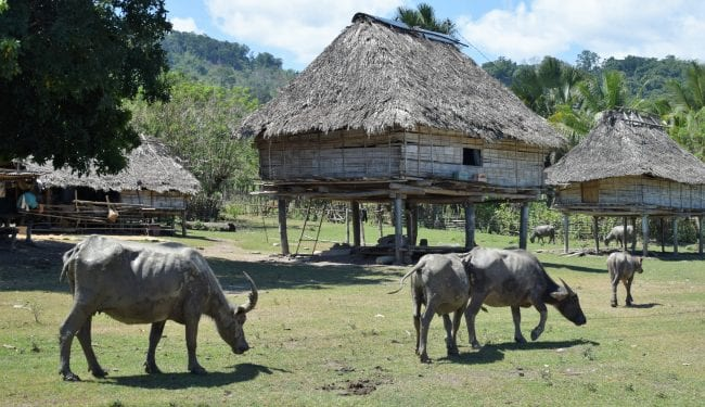Water buffalo wander through a village of thatched stilt houses, Timor-Leste