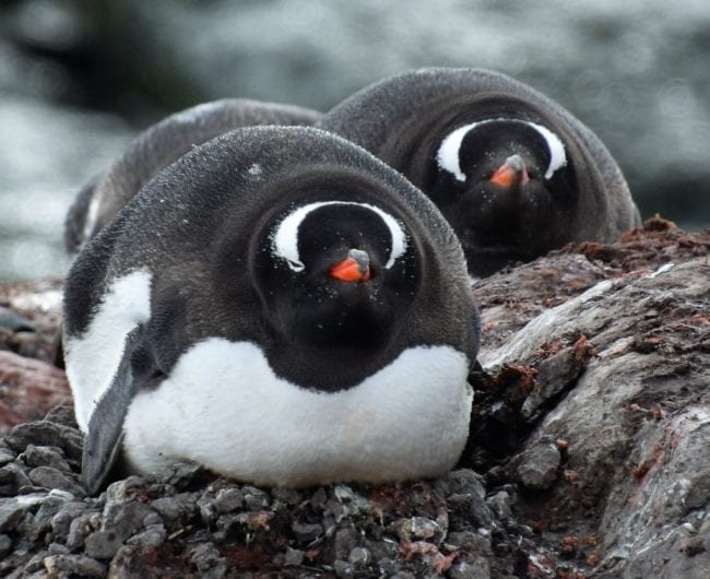 Gentoo penguins fluffed into balls with beaks sticking out, in Antarctica