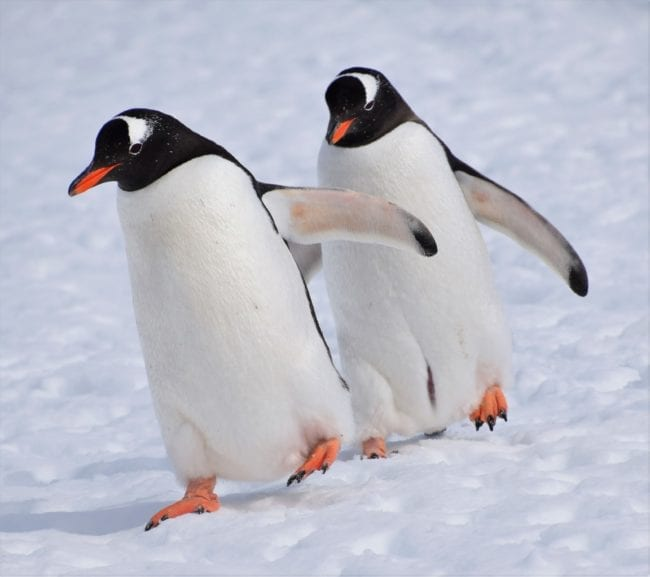 A pair of gentoo penguins waddle across the snow synchronising their wings and feet