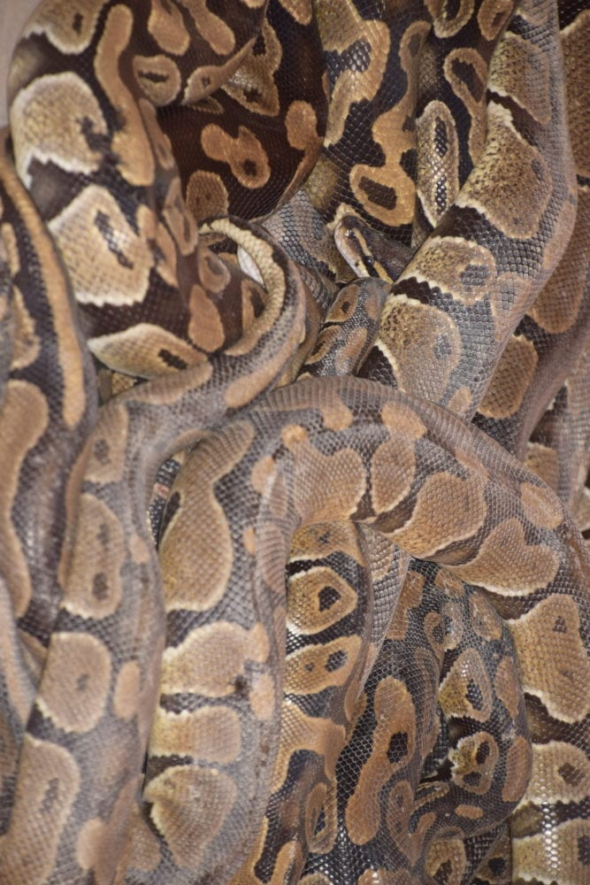 Close up of entwined pythons