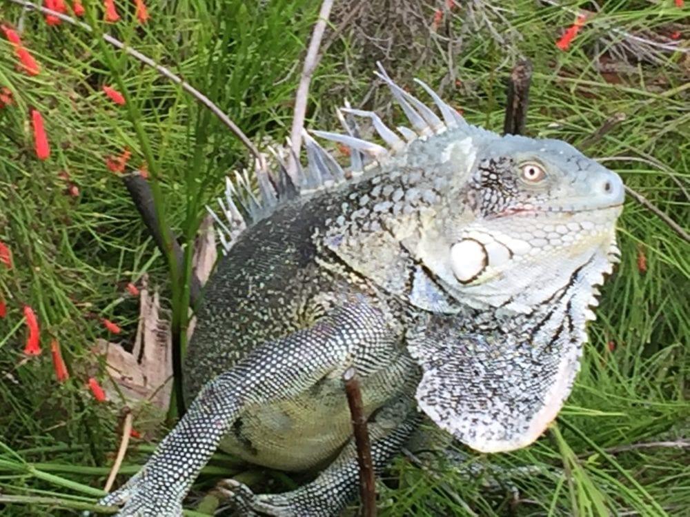 A close up of an iguana, Bonaire