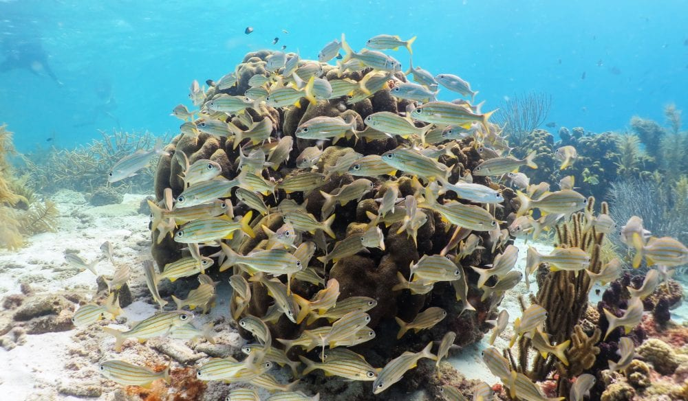 A shoal of fish feeding on a ball of coral