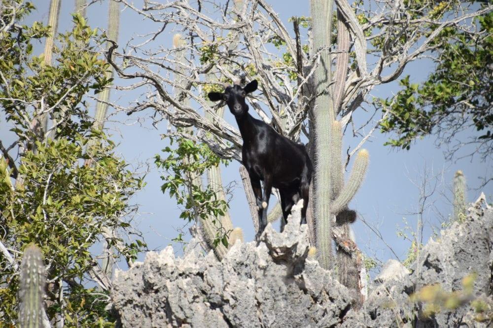 A goat perched on a rocky crag, Bonaire