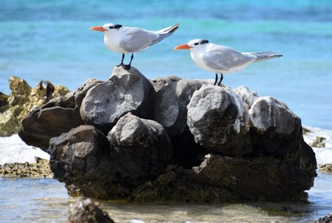 Sea birds with bright orange bills perched on a rock in Bonaire