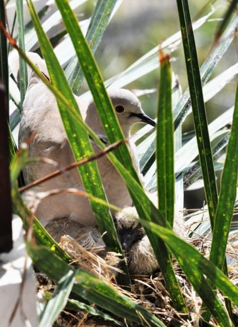 A dove chick in its nest being guarded by its mother