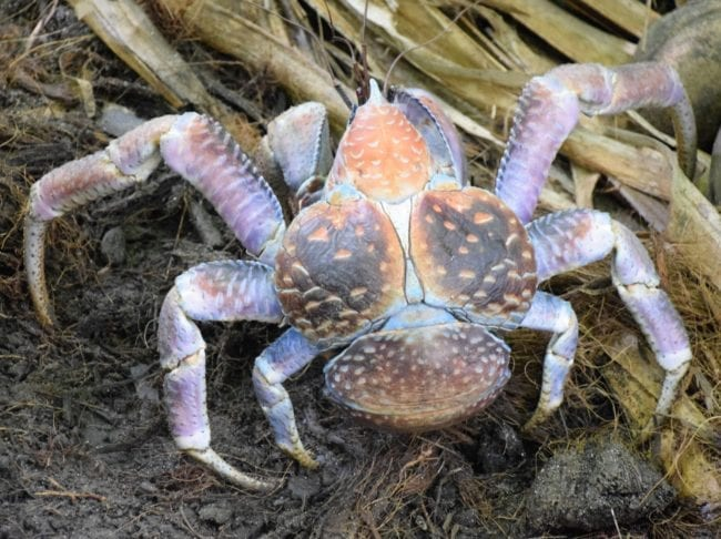 A coconut crab on Christmas Island