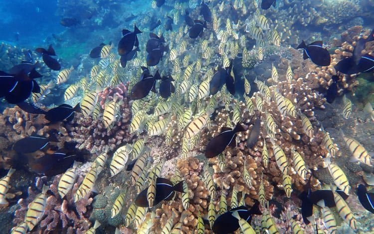 A shoal of reef fish shoots across the coral towards me