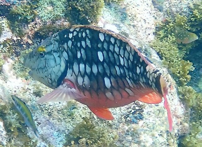A red and silver parrot fish Lagun, Curacao