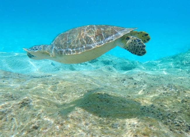 A turtle in the shallows at Kleine Knip, Curacao