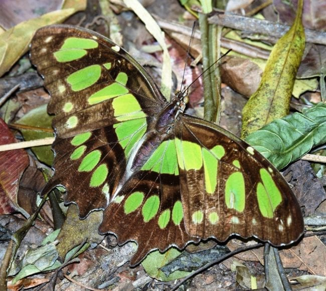 A malachite butterfly El Imposible National Park El Salvador