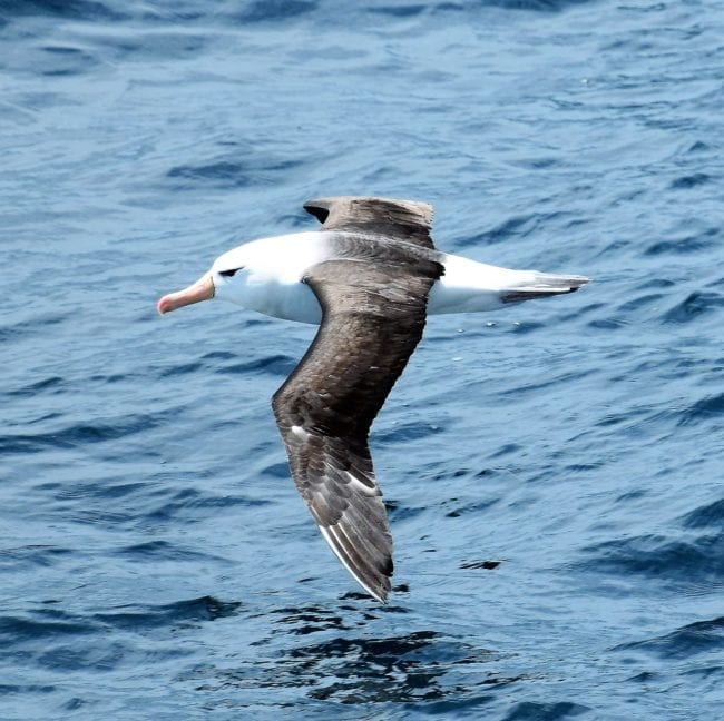 An adult black browed albatross in flight off the Falkland Islands