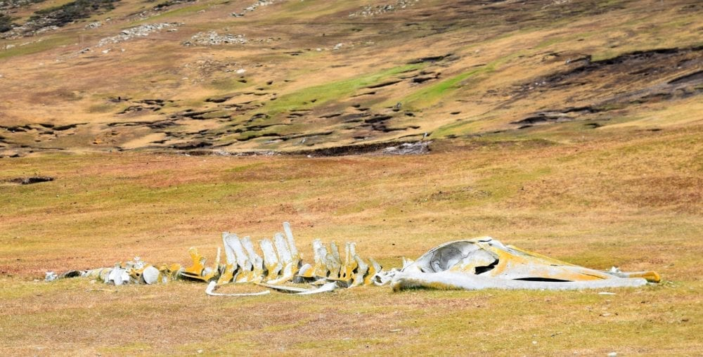A whale skeleton on the grass in the Falkland Islands