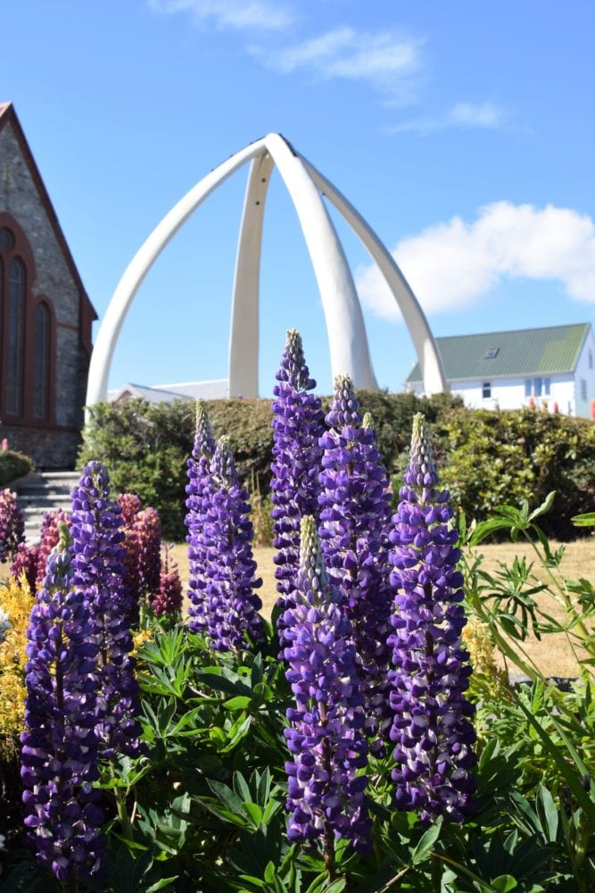 Purple lupins in front of a white memorial at Stanley, Falkland Islands