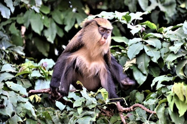 A macaque in the monkey forest at Man