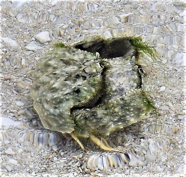 Mating green crabs in Kiribati