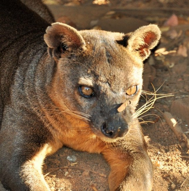 A portrait of the fossa who ate my lunch, Kirindy